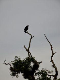 Vulture in a tree, Iguazu Falls Iguazu Falls, Vulture, Bald Eagle, South America
