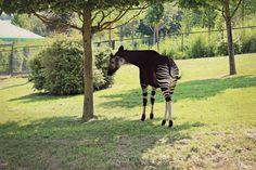 Okapi - Zoo Parc Beauval, Loir-et-Cher, France - 21 Juillet 2013