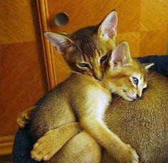 Cookie and pumpkin...beautiful Abyssinian siblings. It's ok lil brother...I make it all better