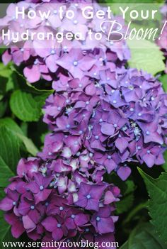 How to Get a Hydrangea Plant to Bloom, via Serenity Now blog