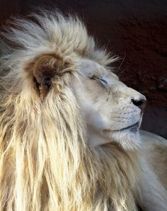 White Lion Stock 5 by HOTNStock