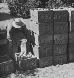"Laborer loading oranges into crates to be brought to the Canoga Citrus Association packing house for processing, circa 1935-1945. The crates are stamped ""CCA"" which is the abbreviation for the Canoga Citrus Association. 	San Fernando Valley History Digital Library."