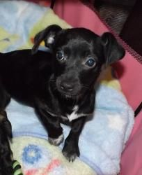 Chiweenie Black And White Images & Pictures - Becuo