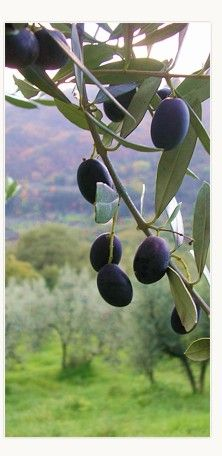 Agriturismo Poggio Pratelli, Tuscany, Italy. Olive tree cultivation is the main activity of our farm. We grow the principal varieties of Tuscan olives - Frantoio, Leccino, Pendolino, Moraiolo http://www.organicholidays.co.uk/at/3028.htm