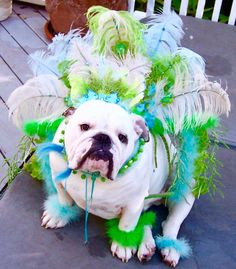 Bulldog all feathered up!
