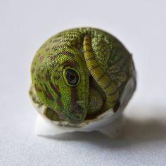 Madagascar giant day gecko, hatching baby.