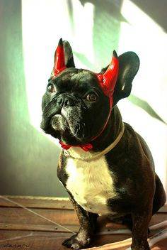 little devil #frenchie