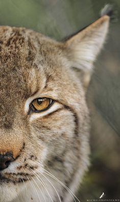 Lynx - Il perforante sguardo della Lince. ( Lynx lynx )
