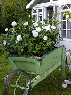 """white shrub roses """"Winchester Cathedral"""" in a green wood wheelbarrow"""