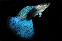 """Guppies are so cute, and their little """"fan"""" tails are pretty!"""