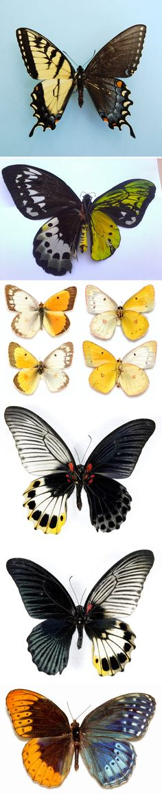 In the realm of genetic anomalies found in living organisms perhaps none is more visually striking than bilateral gynandromorphism, a condition where an animal or insect contains both male and female characteristics, evenly split, right down the middle. While cases have been reported in lobsters, crabs and even in birds, it seems butterflies and moths lucked out with the visual splendor of having both male and female wings as a result of the anomaly. #myt