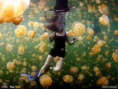На этой фотографии можно видеть, как медузы окружили снорклера в озере Медуз, которое находится на архипелаге Скалистые острова (Палау), на востоке острова Эйл-Малк. В озере обитают два вида сцифоидных медуз — золотая (Mastigias papua) и лунная (Aurelia).