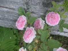 Takalo-Roppolan puutarha- ja mansikkatila: RUUSUT- rose John Davis