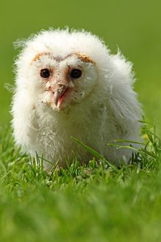 """Cotton Wool Ball by Simon Roy. """"It's hard to believe that this scruffy hand reared owlet will grow into a beautiful Barn Owl. Baby Animals, Cute Animals, Animal Babies, Tyto Alba, Owl Rocks, Whimsical Owl, Power Animal, Beautiful Owl, Owls"""