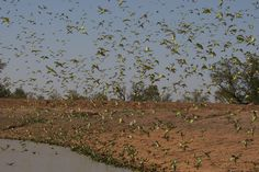 Biggest flock of budgies ever seen in Australia  All wild budgies are green. When bred you can obtain many colours: