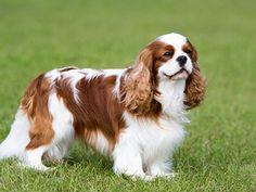 Boykin Spaniel, Spaniel Breeds, Spaniel Puppies, Cavalier King Charles Spaniel Puppy, King Charles Puppy, Cavalier King Charles Dog, Cute Dogs Breeds, Dog Breeds, Baby Animal Drawings