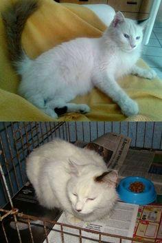 Esta linda sialata tem leucemia felina e só pode ser adotada por alguém sem gatos ou outros gatinhos felv+.