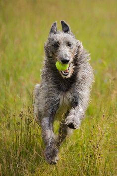 Deerhound.