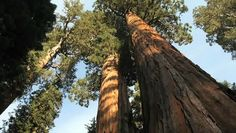 The park rangers at Sequoia National Park let wildfires burn free, as they are necessary for new trees to take root in the unique northern California landscape