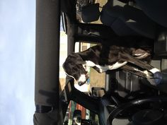 Great Dane finally fits in the jeep