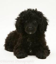 Dog: Black Miniature Poodle lying with head up