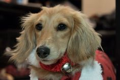 Keep this month merry and bright, and keep your pet away from these holiday hazards, including ornaments and tinsel.