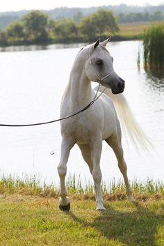 Arabian stallion Laheeb Al Nasser