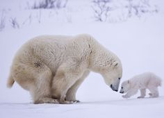 Picture of a polar bear mother and her newborn cubs in Wapusk National Park, Canada Explore these scenic landscapes, rich cultures, and picturesque animals from the 2017 Travel Photographer of the Year contest. Animals And Pets, Baby Animals, Funny Animals, Cute Animals, Baby Giraffes, Wild Animals, Cute Animal Photos, Animal Pictures, Beautiful Creatures