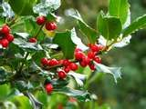 The reds and green of holly berry