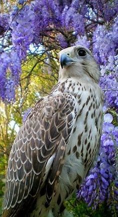 Totaly Outdoors: Majestic Falcon