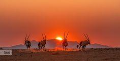 Gemsbok Dawn by Tony Makin on 500px