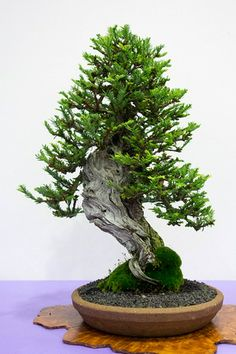 Bonsai… Coastal Redwood