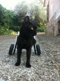 "Wheelchairs for Handicapped Dogs | Hand Built Quality by Ruff Rollin | ""Hada"" The Spanish Cat, wheelchair for cat, black cat, cat wheels"