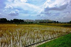 Singapore - of constructed wetland at Lorong Halus Soil Conservation, Cleanse, Singapore, Grass, Vineyard, Around The Worlds, Construction, Water, Plants