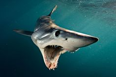 Photo by A Shortfin Mako Shark in New Zealand swims open-mouthed at photographer Brian Skerry. Makos are one of the fastest fish in the sea, capable of bursts up to and of all shark. All Sharks, Types Of Sharks, Shark Pictures, Shark Photos, Shark Images, Shark Diving, Shark Swimming, Shark Shark, Padi Diving