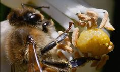 Pesticides linked to honeybee decline   The first study conducted in a natural environment has shown that systemic pesticides damage bees' ability to navigate