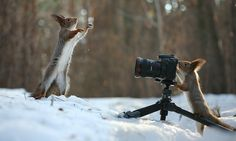 Take a photo me, photographer! by Vadim Trunov on 500px  ardilla en la nieve jugando con una piña o a ser fotógrafo. Macro. #animal #nature #snow #squirrel #winter #pine cones #animal #model #photographer