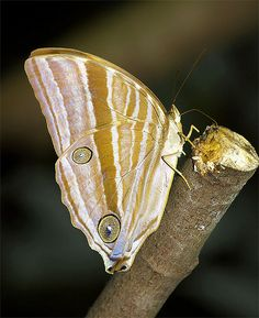 Palm King Butterfly.