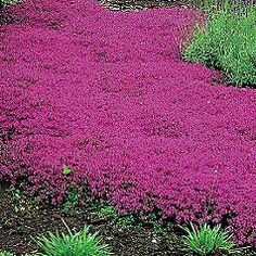 Thymus praecox 'Coccineus' Red Creeping Thyme evergreen in the south