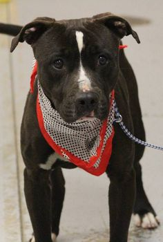 ADOPTED>NAME: Delano  ANIMAL ID: 34654287 BREED: Pit  SEX: male  EST. AGE: 2 yr  Est Weight: 53 lbs  Health: Heartworm pos  Temperament: dog friendly, people friendly  ADDITIONAL INFO: RESCUE PULL FEE: $35  Intake date: 2/15  Available: Now