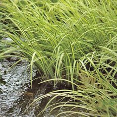 SWEETFLAG, Variegated: Flat iris-like leaves; spreads slowly by branching, creeping rhizomes; stripes can be cream white to yellow; use as accent in moist to wet sites or in standing water. Bog Plants, Water Garden, Outdoor Rooms, Water Features, Trees To Plant, Backyard Landscaping, Pond, Grass, Herbs