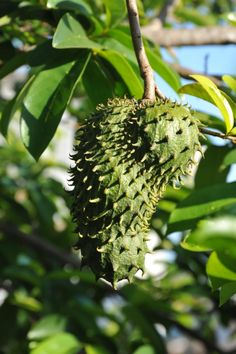 Guanabana The best tasting exotic fruit, and also known to be 10,000 times powerful than Cemo. A cancer killer!