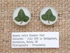 Ivy Cufflinks. Personalised Sterling Silver 925 Botanical Cuff Links with Real Ivy Leaf Specimens 12mm. Since the middle ages Ivy has been symbolic of relationships because of its capacity to entwine in growth. Ivy is an example of the twists and turns our relationships take and the bonds we form over the years. In floriography, Ivy represents affection, friendship, protection, fidelity and wedded love.
