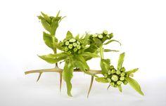 Ikebana  Ryuichi Nagira 2016/03/06 ② 枳殻(カラタチ)+蕗(フキ):Poncirus trifoliate+Petasites japonicus