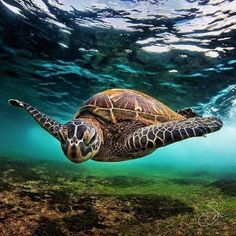 Sea Turtle (Photo by AreaKPhotos) Cute Turtles, Baby Turtles, Sea Turtles, Nature Animals, Animals And Pets, Cute Animals, Fauna Marina, Tortoise Turtle, Turtle Love