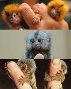 i want a finger monkey soo bad!!!