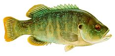 Drawing of Green Sunfish (Lepomis cyanellus)