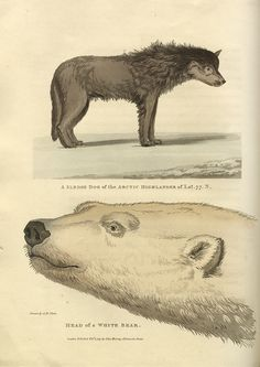 Sledge dog of the Arctic Highlander of Lat. 77. N. and Head of a white bear (1824) | Flickr - Photo Sharing!