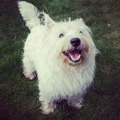 My happy westie puppy Douglas enjoying a sunny day ❤