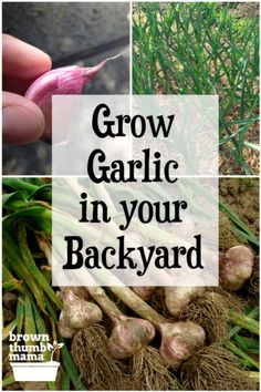 Grow Ridiculous Amounts of Garlic (even in your city backyard) You are here: / / Grow Ridiculous Amounts of Garlic Grow Ridiculous Amounts of Garlic This post may include affiliate links. Fruit Garden, Edible Garden, Herb Garden, Growing Herbs, Growing Vegetables, Gardening For Beginners, Gardening Tips, When To Plant Garlic, Garlic Seeds